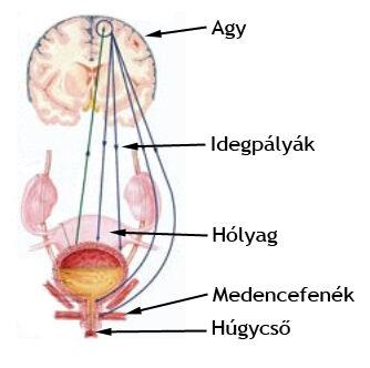 Az agy és az inkontinencia kapcsolata
